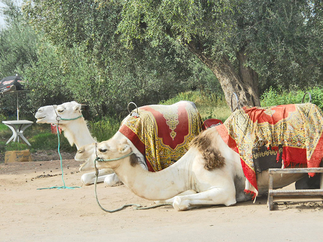 Camellos turistas descansando Menara Marrakech