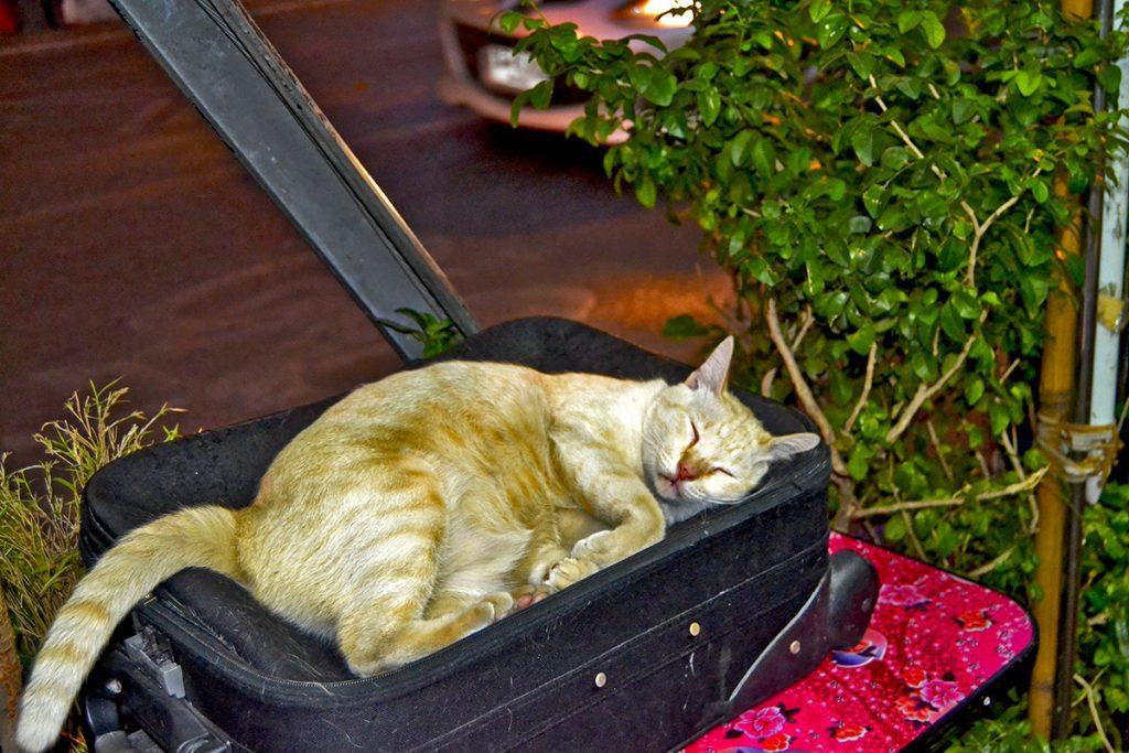 Gato durmiendo maleta Mercado nocturno Chiang Mai