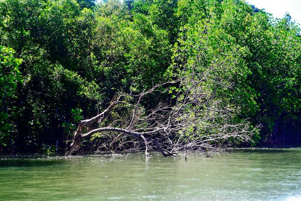 Matorrales ramas pantano aguas bahía Phang Nga Tailandia